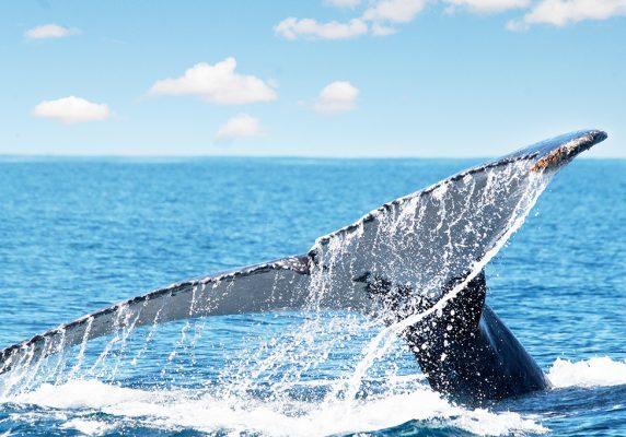 baleine à bosse sur l'ile de sainte marie madagascar